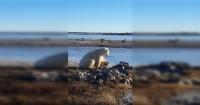 La macabra verdad detrás del video del oso polar que acaricia a un perro