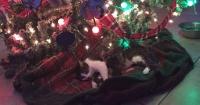 Esta gatita le dejó 4 regalos a su dueña bajo el árbol de navidad