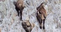 Las sorprendentes cabras alpinas que trepan muros verticales mejor que Spiderman