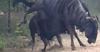 Un ñu logra reanimar a su compañero moribundo y se transforma en viral