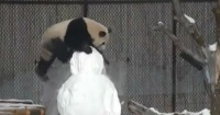 La curiosa pelea entre un oso panda y un muñeco de nieve. Mira quien ganó