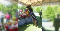 Emotivo momento: la despedida de un perro policial en el funeral de su adiestrador