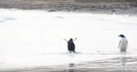 Hilarante reacción de un pingüino bebé cuando el agua lo toca