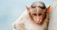 Los monos tienen la capacidad de hablar y así es como se escucharían