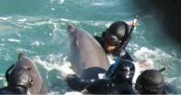 El desesperado intento de una mamá delfín por salvar a su cría de un grupo de cazadores