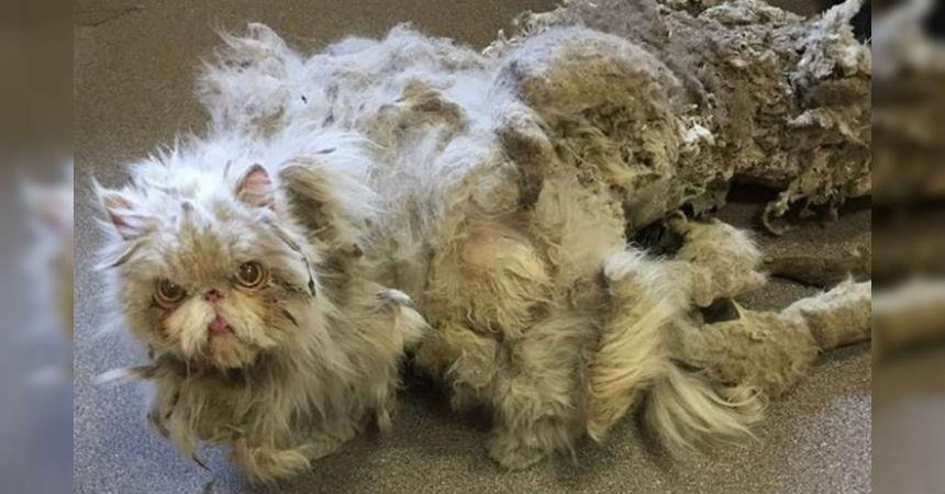 A este gato le quitaron más de 2 kilos de pelo y su cambio es increíble -  AYAYAY da751c767d59