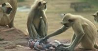 """Monos lloran desconsolados la """"muerte"""" de una cámara camuflada que los grababa"""
