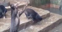 ¡Indignante! Osos desnutridos ruegan por comida en zoológico de Indonesia