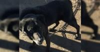Perro fue rescatado tras estar encadenado 15 años en una caseta