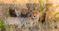 La foto de estos guepardos podría ser el último registro que tengamos de este animal