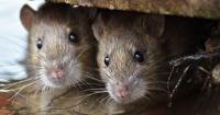 Esta inofensiva planta mantendrá alejados de tu hogar ratas y arañas