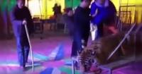 Tigre es sometido a crueles actos para satisfacer a los visitantes y su rostro te partirá el alma