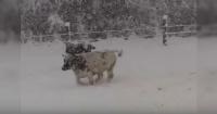 ¡Como si fueran niños! La emoción de estas vacas al conocer la nieve da la vuelta al mundo