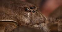 Digna de una película: La aterradora araña que es capaz de cazar peces bajo el agua