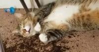 Gatos se comieron las plantas de marihuana de su dueña y así quedaron