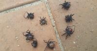 Lluvia llevó arañas mortíferas a una casa y aterró a sus moradores