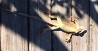"""""""Lluvia"""" de iguanas congeladas sorprende a residentes de Florida en Estados Unidos"""