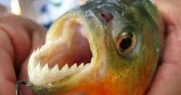 El espeluznante video donde peces devoradores hacen desaparecer un pedazo de carne en segundos