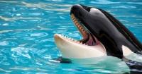"""Enseñaron a """"hablar"""" a una ballena asesina y así es como se escucha"""