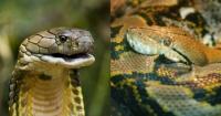 Esto ocurre cuando una cobra de tres metros intenta comerse una pitón de su mismo tamaño