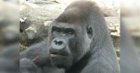 """El gorila que dejó boquiabiertos a los turistas por """"evolucionar"""" como humano en cosa de minutos"""