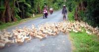 """El interminable """"río de patos"""" que interrumpió el tránsito en Vietnam"""