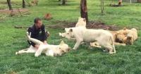 El inquietante momento en que un tigre salva a su cuidador de ser atacado por un leopardo
