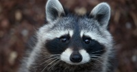 La historia del mapache que terminó drogado luego de comer la marihuana de su dueña