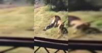 El espeluznante momento en que un león ataca al dueño de un parque frente a los visitantes