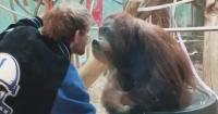 Orangután intenta besar a visitante de un zoológico y se vuelve viral