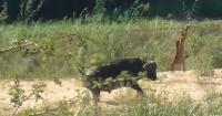 """Búfalo """"mandó a volar"""" a leones jóvenes y salvó de una muerte segura a un lagarto"""