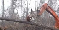 El impactante momento en que un orangután se enfrenta a máquina que destruía su hogar