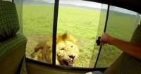 """Turista tuvo la """"genial"""" idea de acariciar a un león y así terminó"""