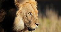 """""""No ha quedado gran cosa"""": cazadores fueron devorados por una manada de leones en Sudáfrica"""