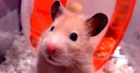 """El """"terrorífico"""" bostezo de un hamster que dejó a todos estupefactos"""