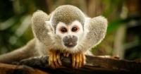 Hombre entra a un zoológico para robar un mono para su novia y acaba en una pelea con los simios