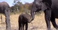 La imagen de un pequeño elefante sin trompa que causa pena en las redes sociales