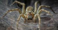 Biólogos aseguran que si las arañas se unieran podrían comerse a todos los humanos en un año