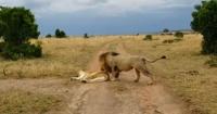 León ataca a una leona mientras duerme y recibe su merecido por su atrevimiento