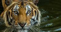 Los tigres podrían extinguirse dentro de 10 años