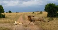 El tiro por la culata: a un león se le ocurrió despertar a una leona y terminó de la peor manera