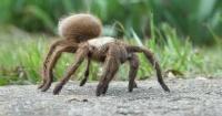 Hallan una especie de tarántula con un 'cuerno' en la espalda