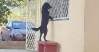Perro caminó hasta la escuela de su amo para verlo por la ventana del salón de clases