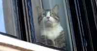 Imágenes del gato de Julian Assange mirando el arresto de su amo