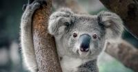 El koala ha sido declarado funcionalmente extinto
